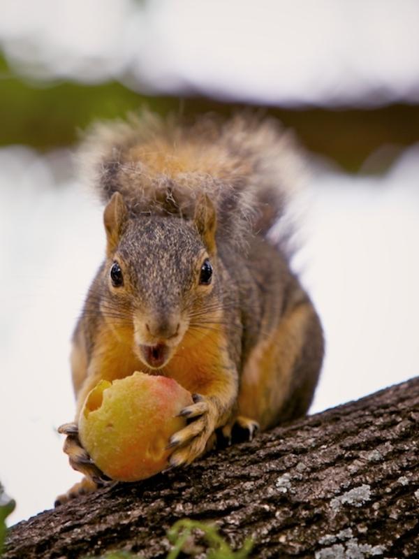 Squirrel Raid!